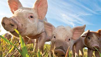 Healthy Pigs under blue sky