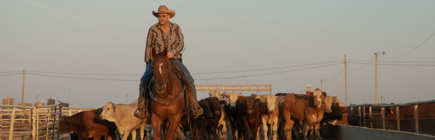 rancher leading cattle
